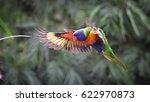 Rainbow Lorikeet In Flight ...