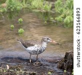 Small photo of A Spotted Sandpiper (Actitis macularius) stands in a pond