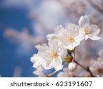 cherry blossoms | Shutterstock . vector #623191607