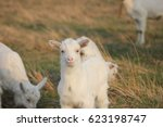 goats in a meadow pasture | Shutterstock . vector #623198747