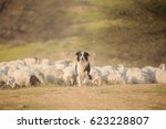 Border collie front of herd of...