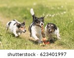 Three Dogs Play And Run In The...