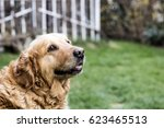 Old Golden Retriever Dog In...