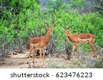 Two Young Antelopes Watching