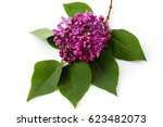 Flowers Lilacs Isolated On...