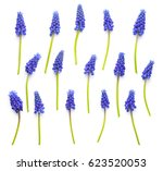 muscari flowers isolated on... | Shutterstock . vector #623520053