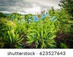 Meconopsis  Lingholm  Blue...