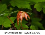 new leaves on a florida maple... | Shutterstock . vector #623562707