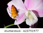 Small photo of Mallotus shield bug on orchid.