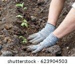 Planting Tomato. Man's Hands I...