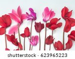 beautiful cyclamen flower... | Shutterstock . vector #623965223