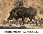 wild bore  ranthambore... | Shutterstock . vector #624056633
