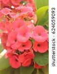 euphorbia milli | Shutterstock . vector #624059093