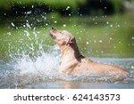 Beige Pitbull Terrier Running...
