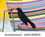The Greater Antillean Grackle...