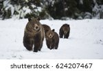 A Grizzly Bear Sow Leads Her...