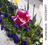 Small photo of Beautiful tulip flowers, claret red