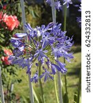 Small photo of Stately purple agapanthus Lily of the Nile genus in subfamily Agapanthoideae of plant family Amaryllidaceae contrasted against the long green leaves is a popular feature plant .