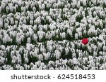 Red Tulip In An Ocean Of White...