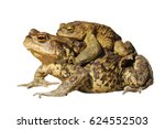 mating common toads isolated... | Shutterstock . vector #624552503