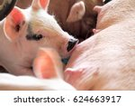 Piglets Feeding  From Mother Pig