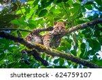 leopardus wiedii. felis wiedii. ... | Shutterstock . vector #624759107