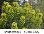 Small photo of Euphorbia characias (Mediterranean spurge or Albanian spurge)
