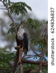 Small photo of African fish eagle is sitting on a tree with prey. An excellent illustration.
