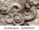 Closeup Of Many Ammonite...