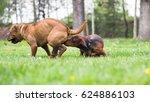 dog smells a dog in heat   Shutterstock . vector #624886103