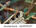 Small photo of Soybean Pod Bug or Bean Bug (Riptortus linearis, Alydidae)