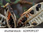 Small photo of Soybean Pod Bug or Bean Bug (Riptortus linearis, Alydidae)