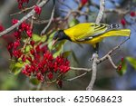 Small photo of African black-headed oriole in Kruger national park, South Africa ; Specie Oriolus larvatus family of Oriolidae