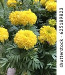 Small photo of Tagetes erecta or Mexican marigold or African marigold or Daoruang flower.