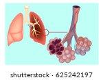 diagram the pulmonary alveolus  ... | Shutterstock .eps vector #625242197