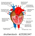 heart of body in terms of... | Shutterstock .eps vector #625281347