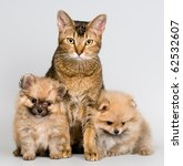 Stock photo cat and the puppies of the spitz dog 62532607