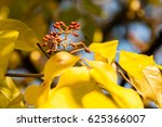 autumn leaves with wild fruits...   Shutterstock . vector #625366007