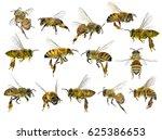 bee  apis mellifera .... | Shutterstock . vector #625386653