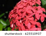 Santan Flower Or Ixora Coccine...