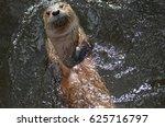 Adorable River Otter Floating...