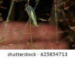 Small photo of Green lacewings, Chrysoperla, Chrysopidae