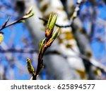 Blossoming Branch Of A Poplar...