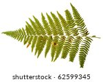 green leaf of fern isolated on... | Shutterstock . vector #62599345