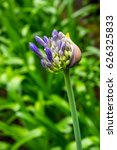 Small photo of Macro of a flowering Agapanthus, Agapanthus praecox, after a rain shower. Background out of focus