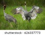 eastern sarus crane in breeding ... | Shutterstock . vector #626337773