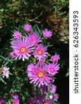Pink Vygie Flower