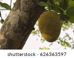 jackfruit is a large tree with... | Shutterstock . vector #626363597
