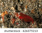 snapping shrimp  athanopsis sp. ... | Shutterstock . vector #626375213