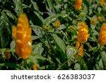 golden shrimp plants | Shutterstock . vector #626383037